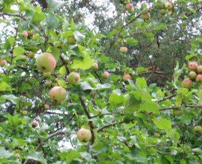 Kihnu_õunapuu
